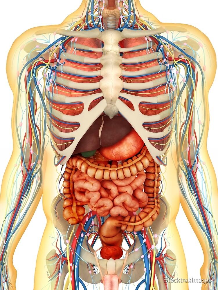 Cuerpo humano con órganos internos, sistema nervioso, sistema ...