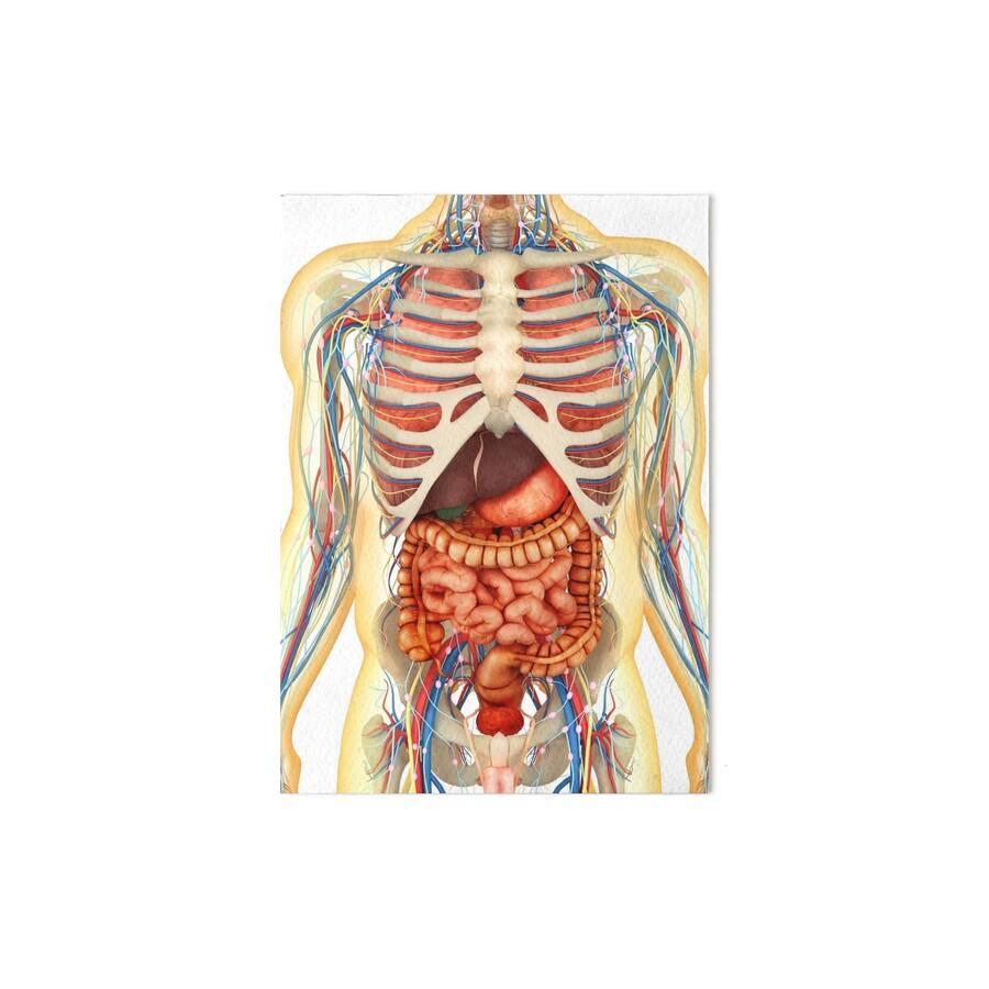 Láminas de exposición «Cuerpo humano con órganos internos, sistema ...