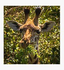 Giraffe Lunch Photographic Print