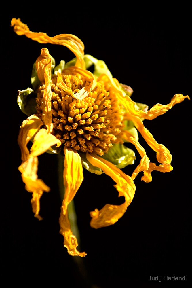 Withered Flower by Judy Harland
