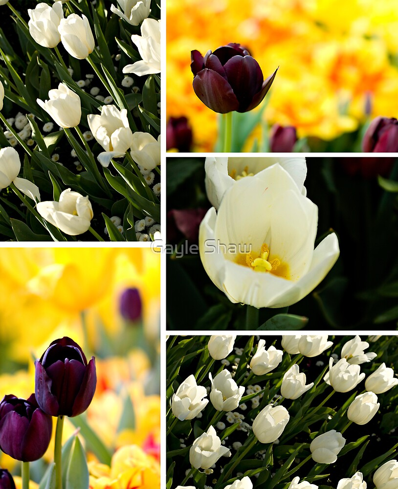 Tulips by Gayle Shaw