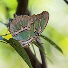 Malachite butterfly by Tracy Riddell