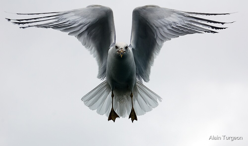 Seagull in flight by Alain Turgeon