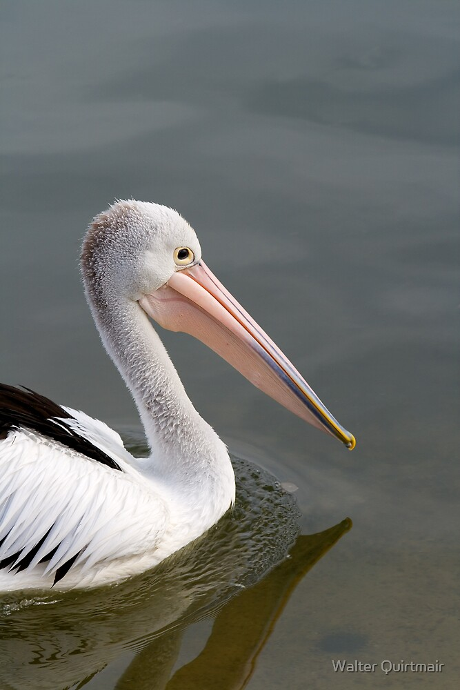 Pelican by Walter Quirtmair