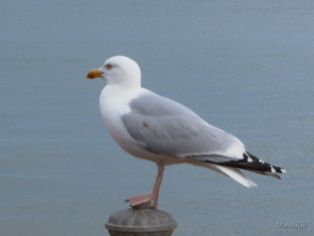 Hastings Herring Gull by Manda02