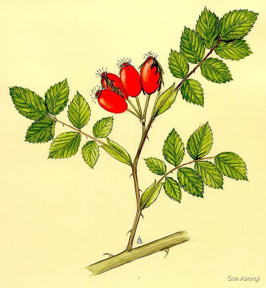 Wild Rose - Rosa canina berries by Sue Abonyi