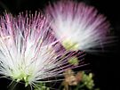 Midnight Mimosa by Chelsea Kerwath