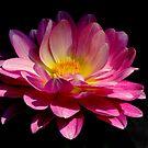 pink dahlia  by Luis Correia