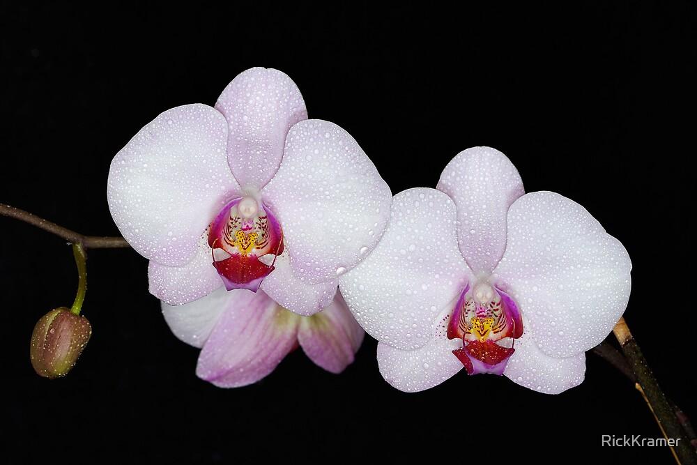 Orchid 1 by RickKramer