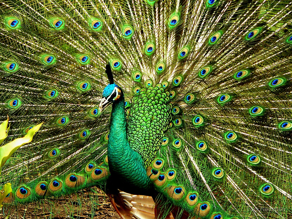 Peacock by Tom Newman