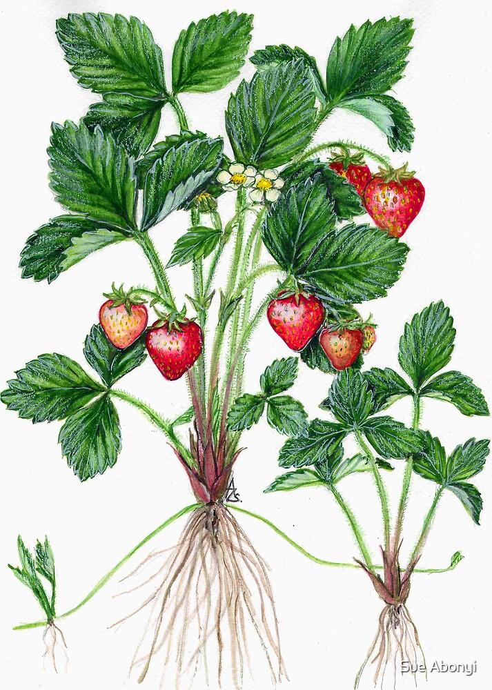 Garden Strawberry - Fragaria  ananassa No.2 by Sue Abonyi