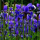 Les Fleurs de Lys by Elfriede Fulda