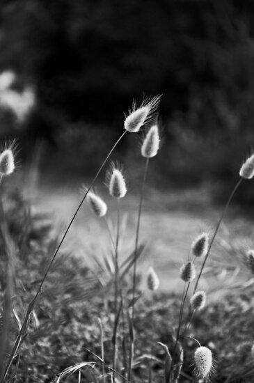 pussy willow grass by Karen E Camilleri