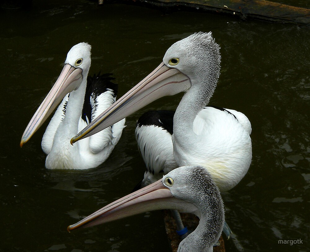 Pelicans by margotk