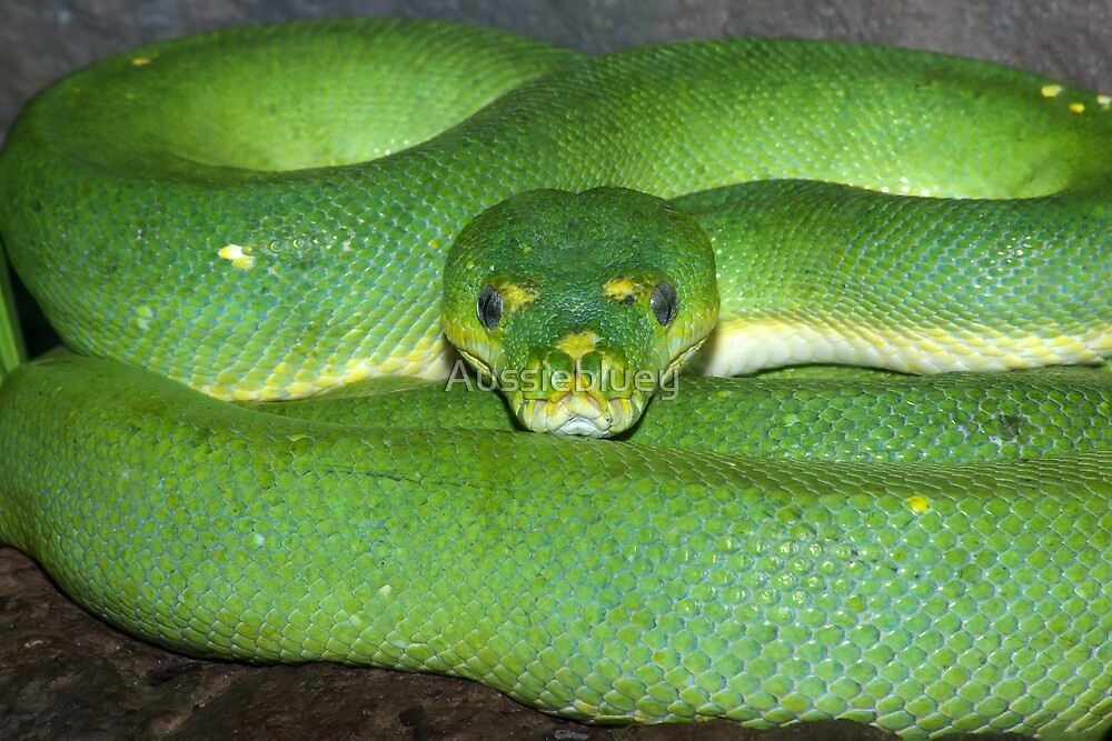 Green Tree Python. by Aussiebluey