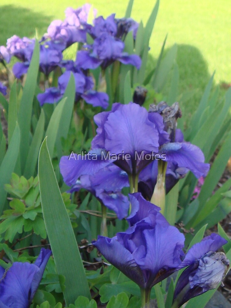 Purple Iris by Arlita Marie Moles