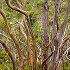Banana Gum Trees by Lexa Harpell