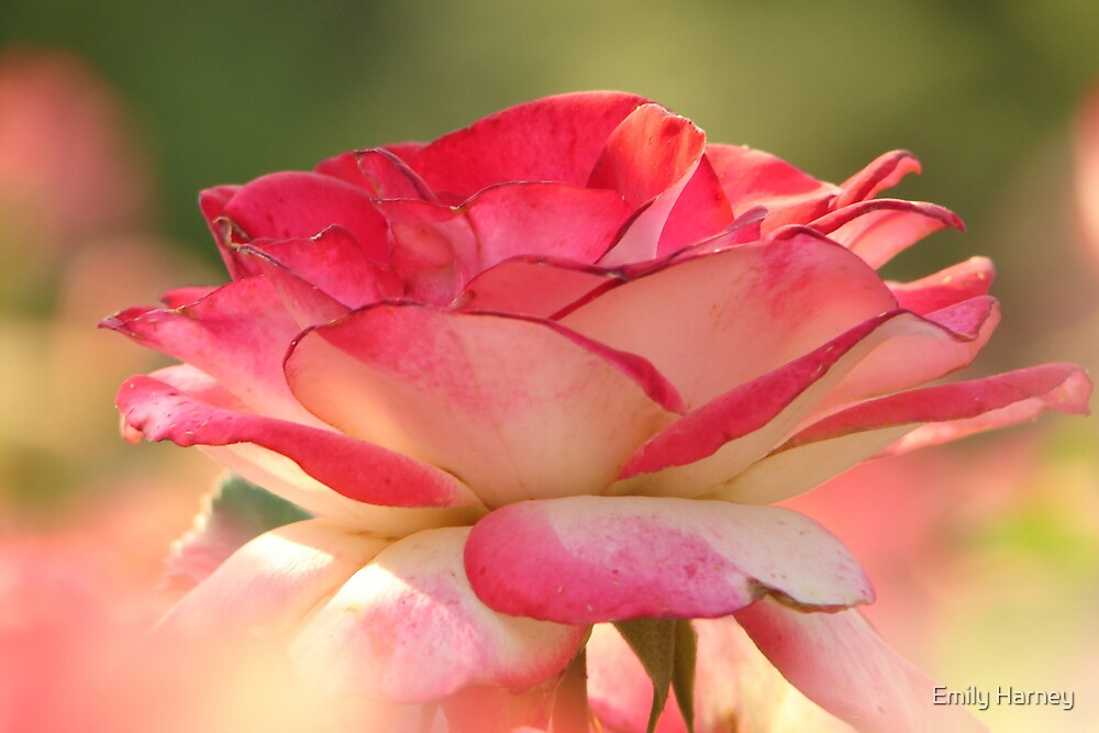 Pretty in pink flower by Emily Harney