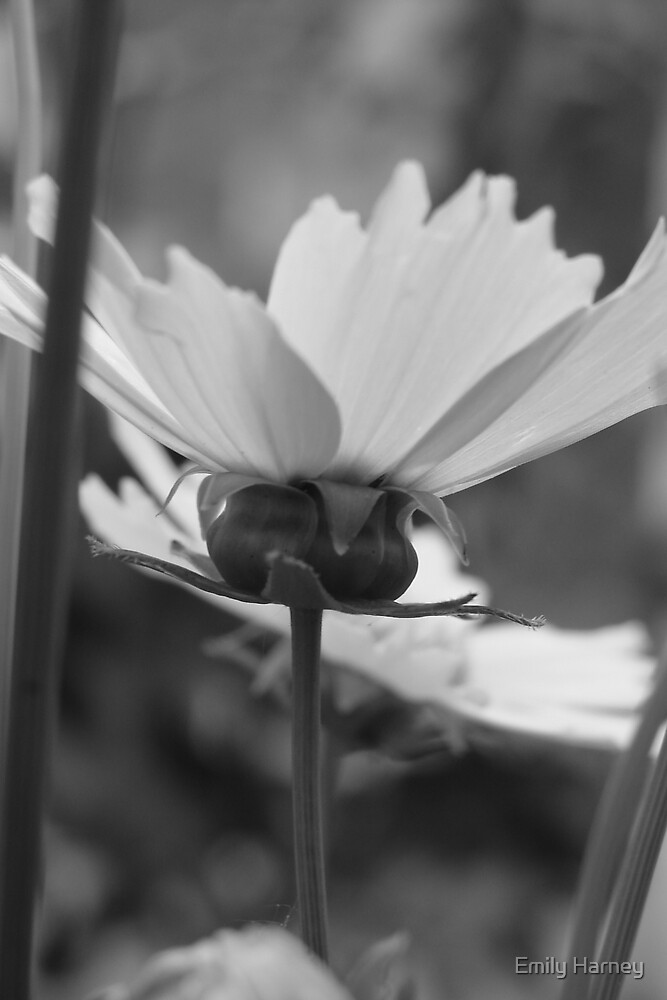 Black and white Flower by Emily Harney