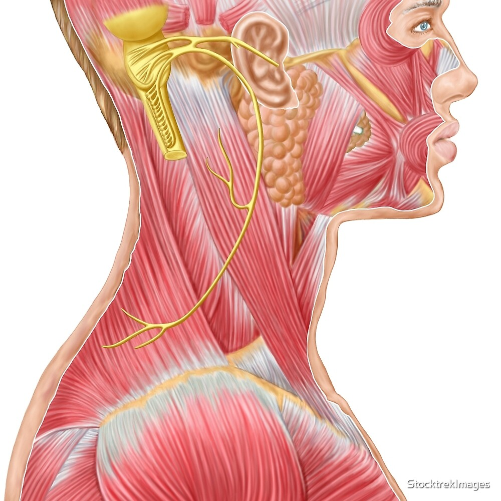 Accessory Nerve View Showing Neck And Facial Muscles By