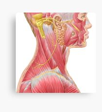 Accessory nerve view showing neck and facial muscles. Canvas Print
