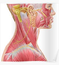 Accessory nerve view showing neck and facial muscles. Poster