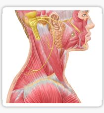 Accessory nerve view showing neck and facial muscles. Sticker