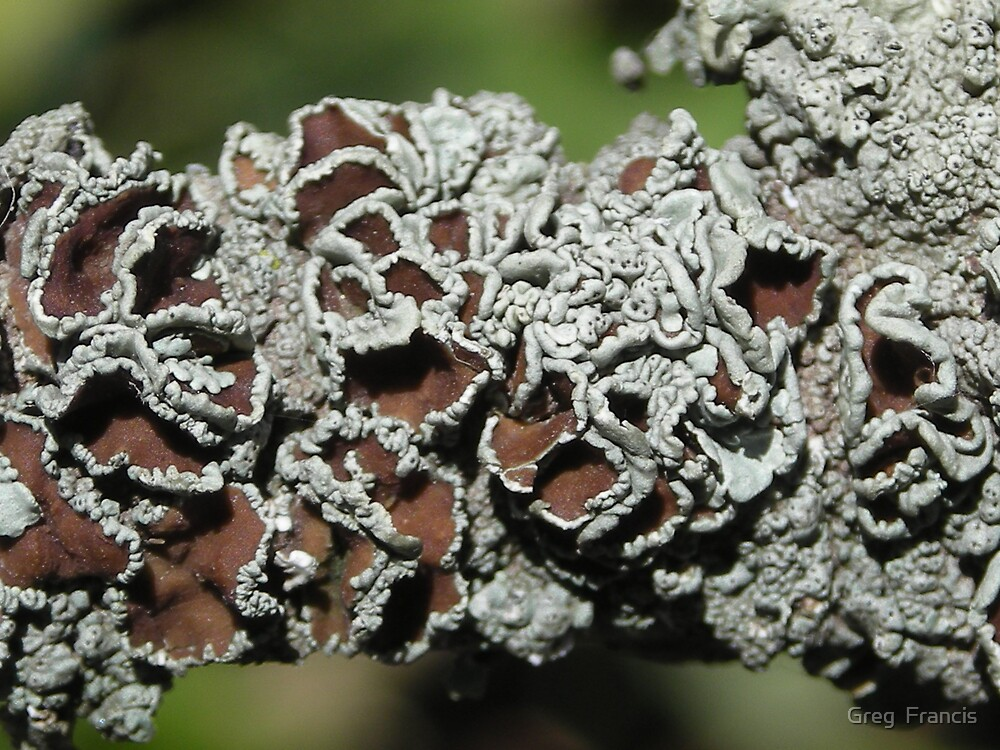 Lichen by Greg  Francis