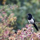 Magpie in the Pink by Ashley Beolens