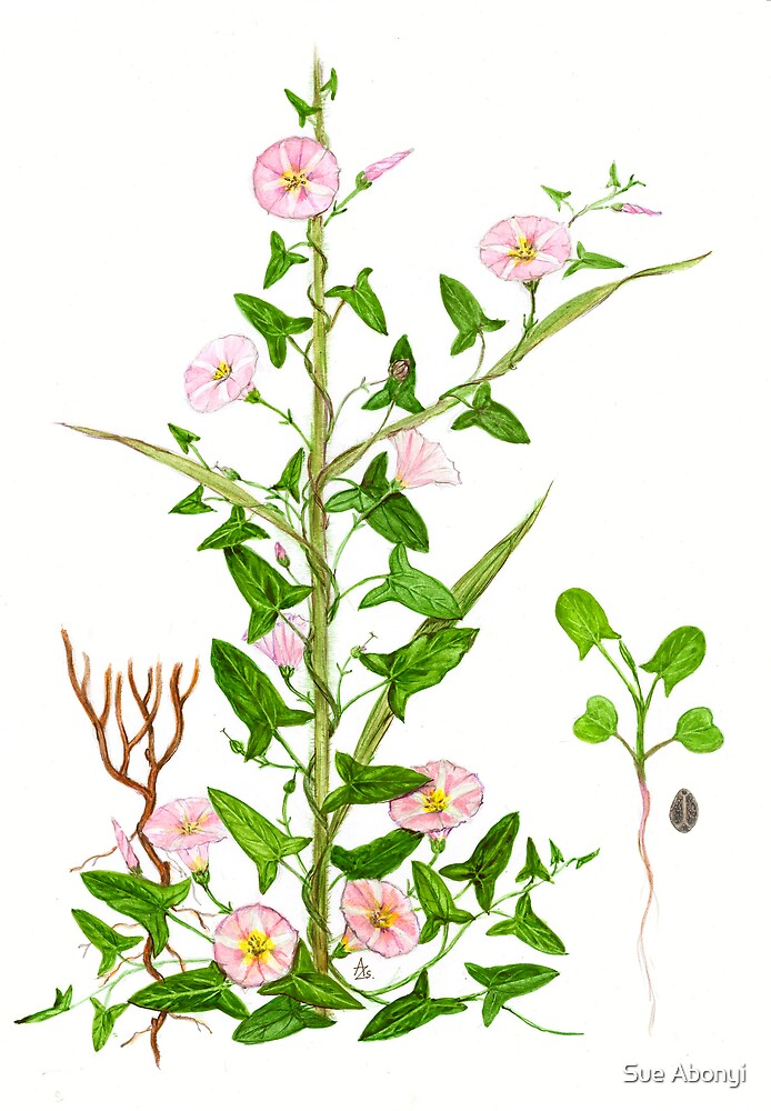 Perennial Morning Glory - Convolvulus arvensis by Sue Abonyi