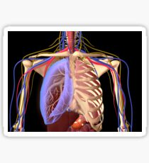 Human skeleton showing a transparent lung with surrounding rib cage. Sticker