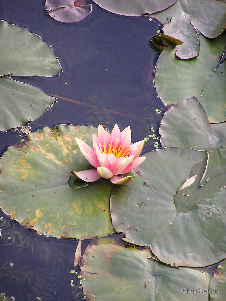 Lotus on the pond by Chris Hanlon