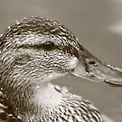 Dabbling Duck by camerahappy