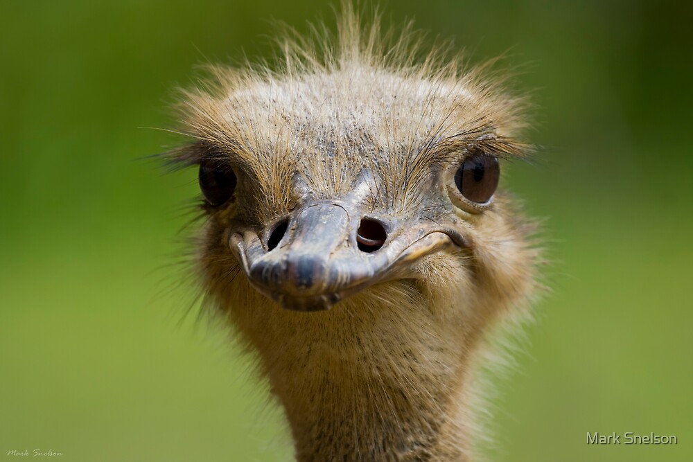 Ostrich 2 by Mark Snelson