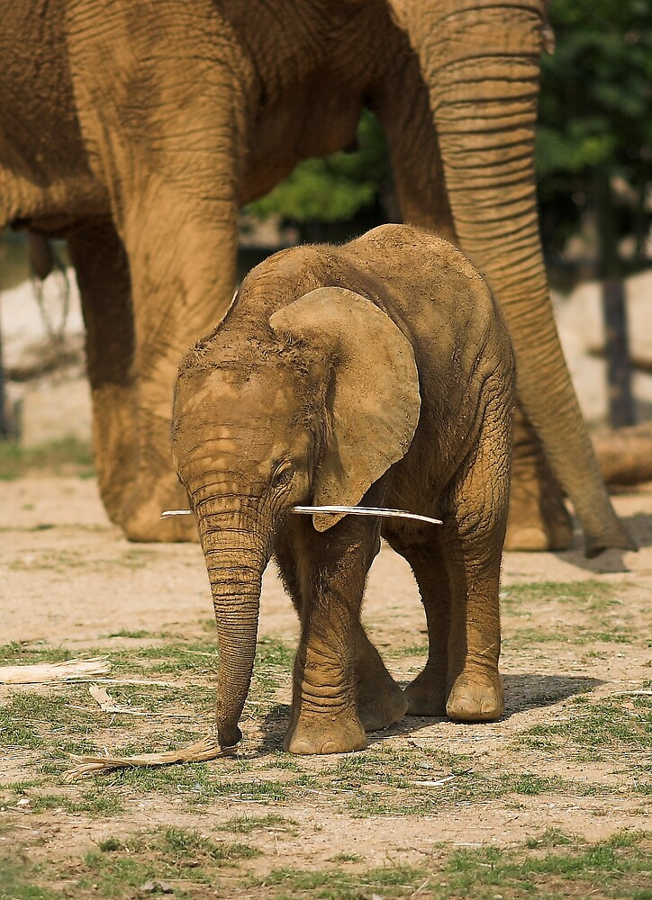 Playful Baby Elephant by kitlew