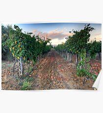 Vineyard in Tuscany Poster