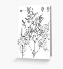 Marsh Elder - Iva xanthifolia Greeting Card