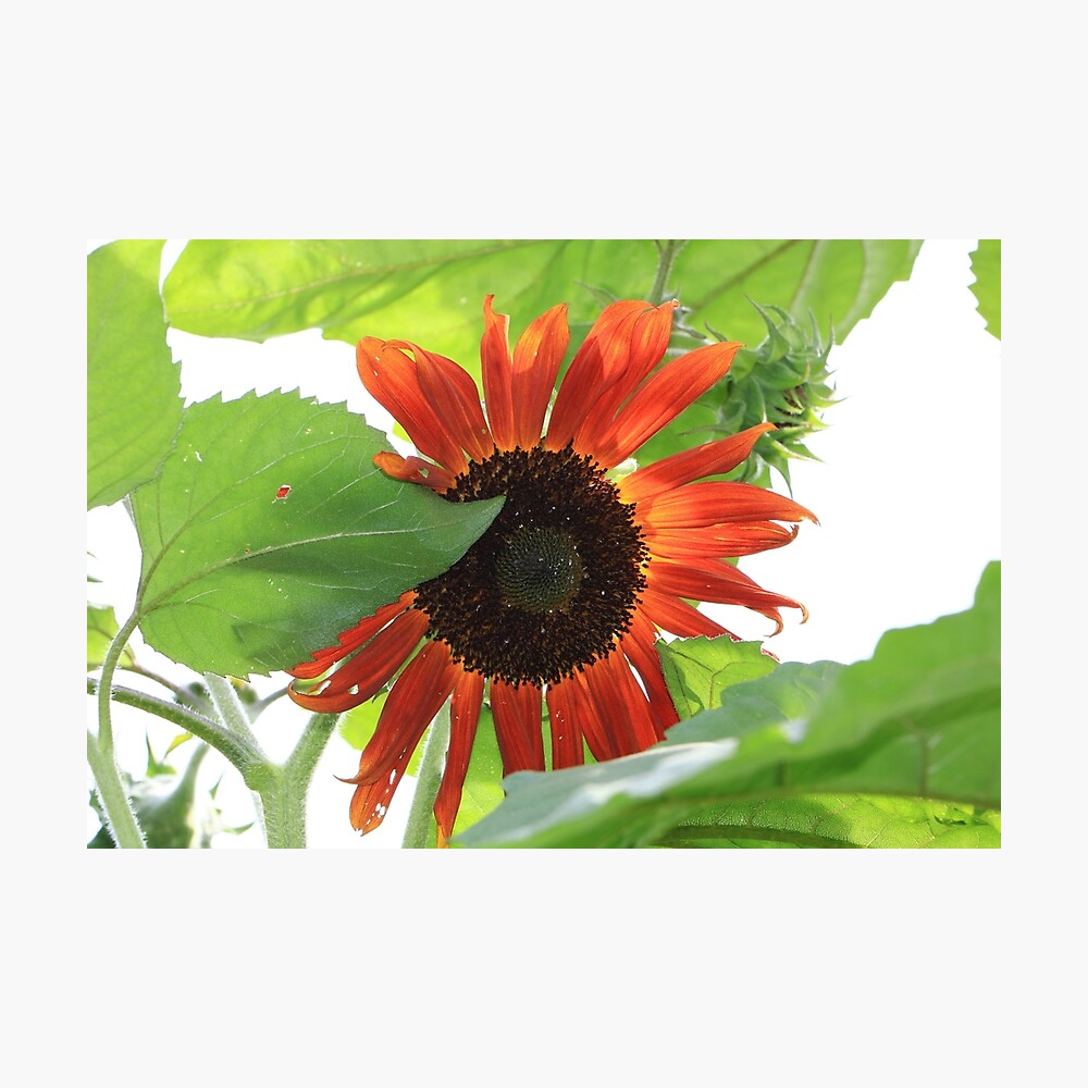 Sunflower in the Afternoon Photographic Print