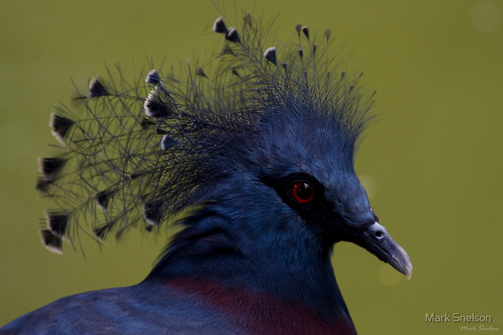 Crowned Pigeon 1 by Mark Snelson