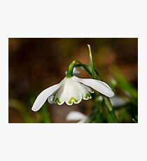 Single snowdrop Photographic Print