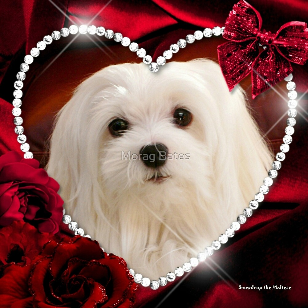 Snowdrop the Maltese - Sweet Valentine by Morag Bates