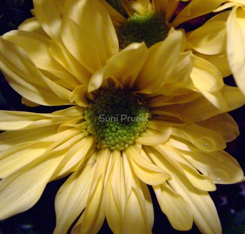 Daisy II by Suni Pruett