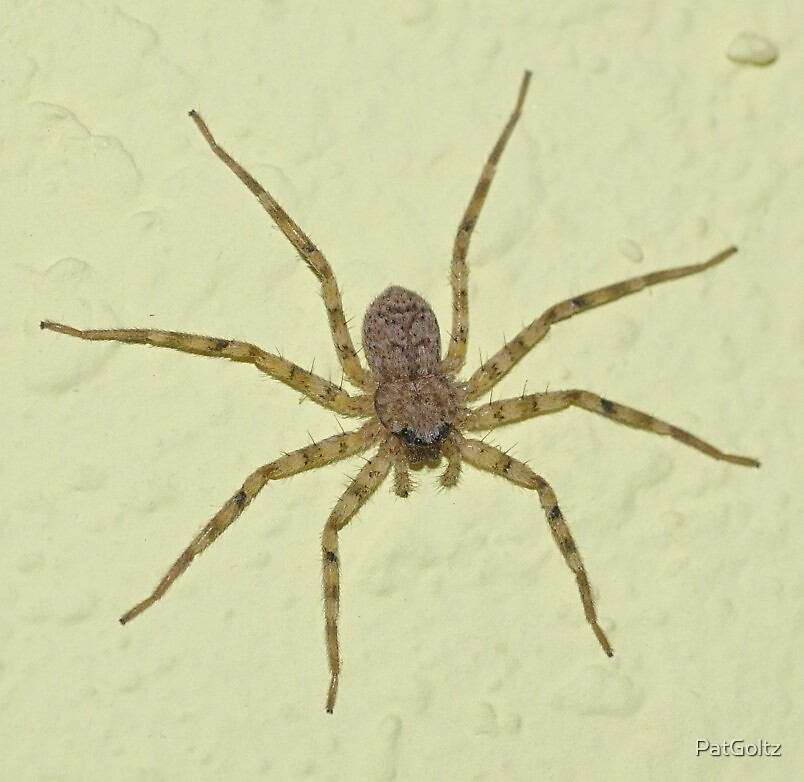 Spider by PatGoltz