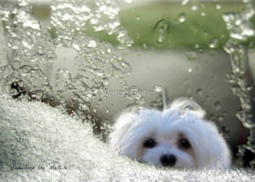 Snowdrop the Maltese - Please May I Come In ? by Morag Bates