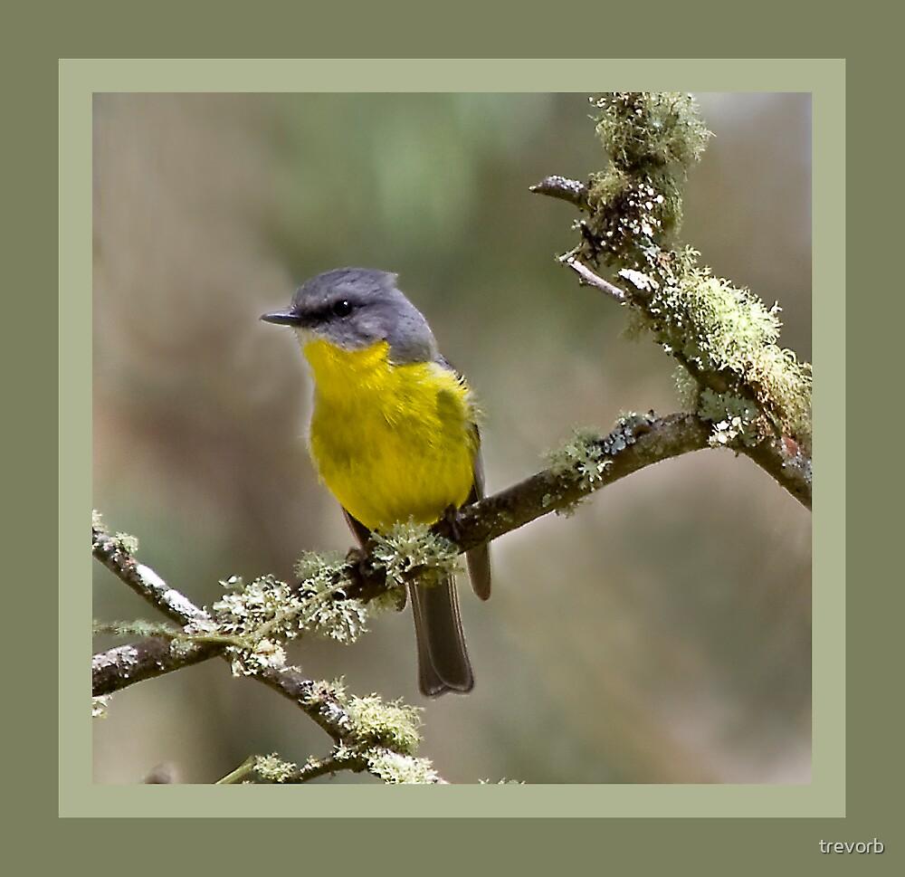 Yellow Robin. by trevorb