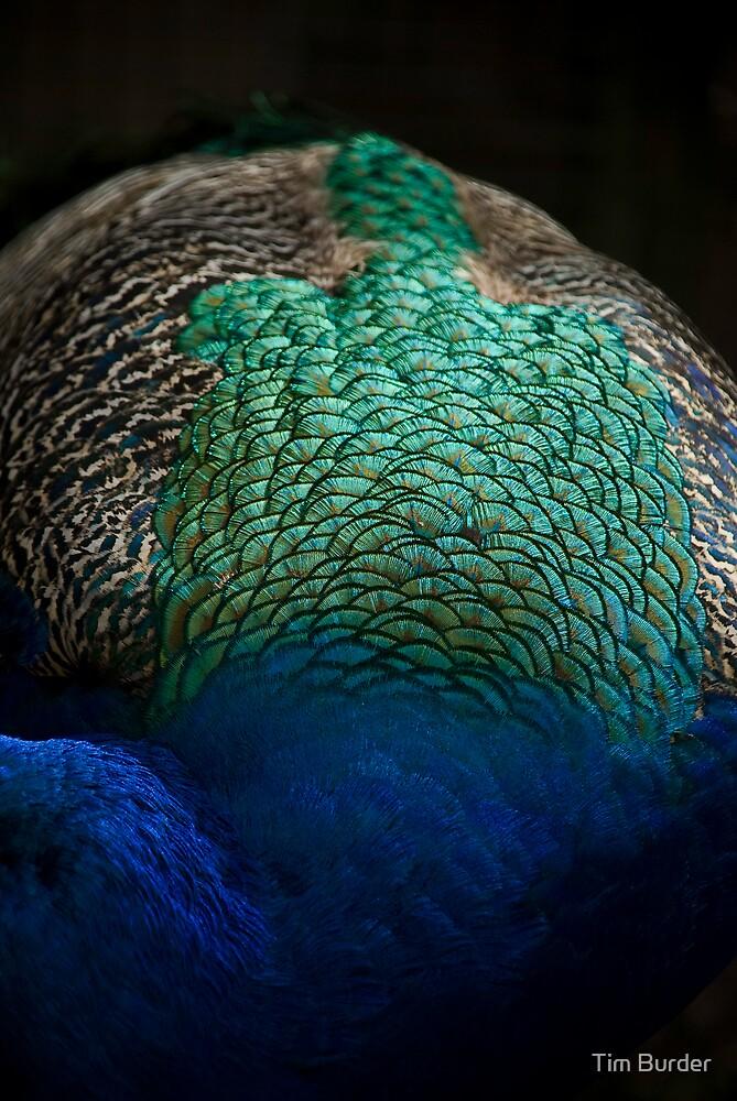 peacock by Tim Burder