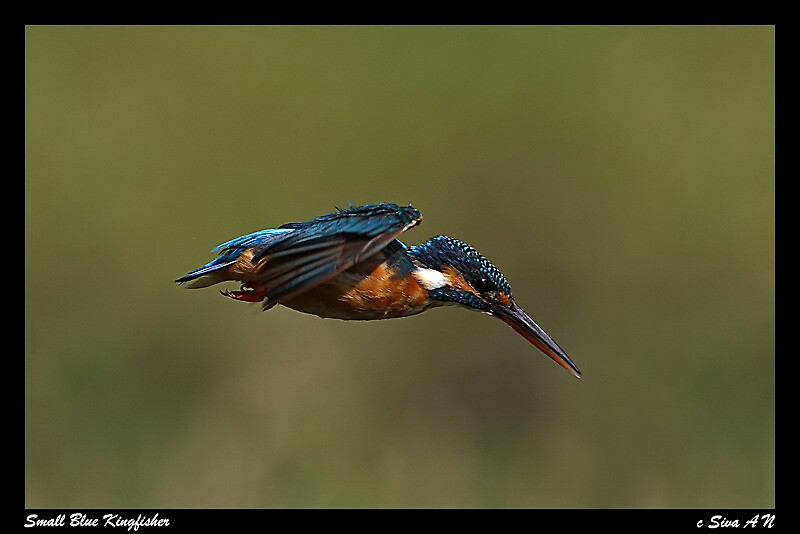 Common Kingfisher Dive by ansi247