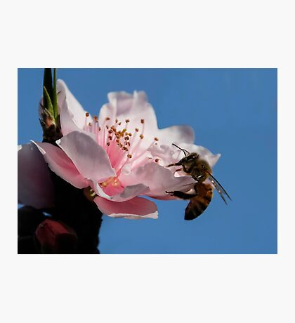 Bee On The Peach Blossom Photographic Print