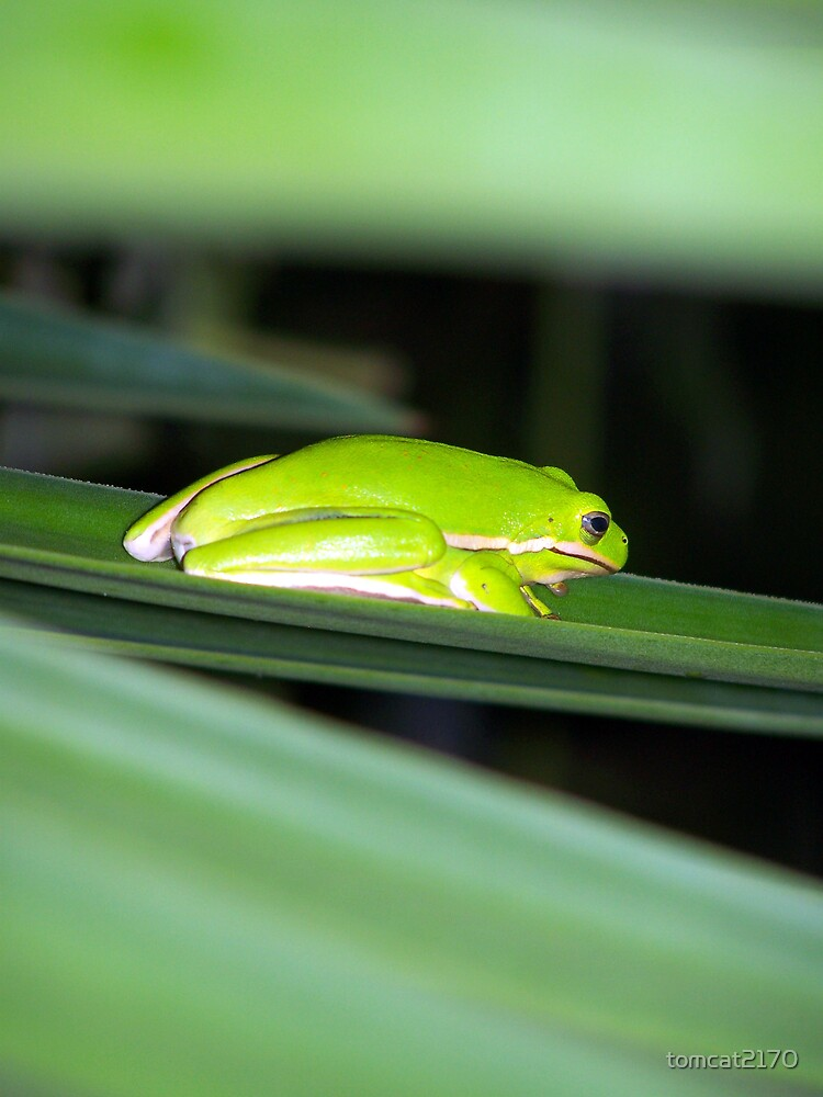 tree frog close and personal by tomcat2170