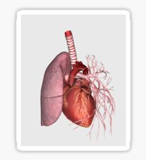 Pulmonary circulation of human heart and lung. Sticker